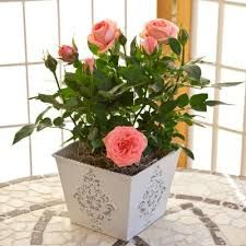 Potted plants are popular presents on mothers day, they're cheaper for children to buy and last longer.