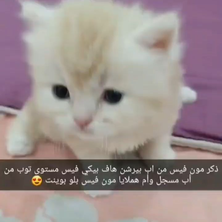 تم الحجز الله يبارك للاونر فيه ويسعده معاهم ويسعدهم فيه Manama Riffa Bahrain Catsofinstagram Exploremore Sitraabh Kittensofinstagram Cat Nap Cute Cats Cats