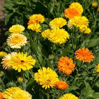 Eddible flowers - Calendula Seeds   Calendula officinalis   100% Pure Wildflower Seed