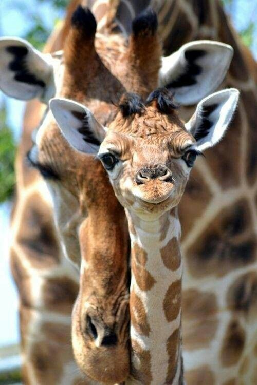 baby giraffe and mother                                                                                                                                                                                 More