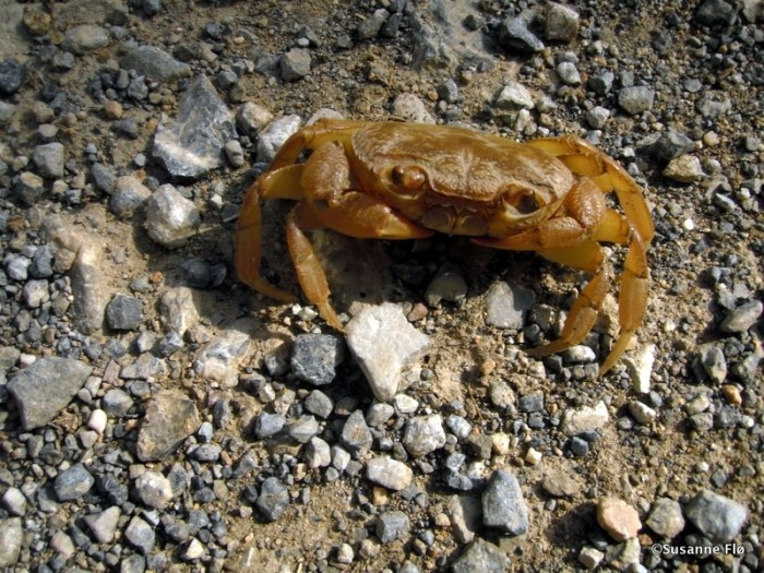 A Crab on the road in Plakias Crete