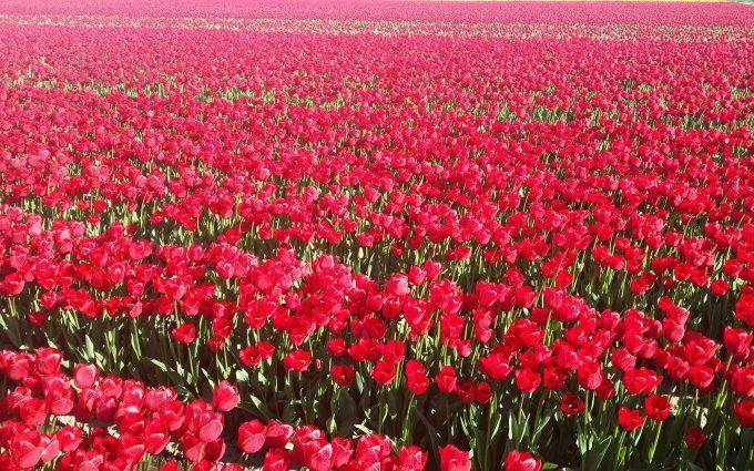 Red Tulips Field Wallpaper 4K