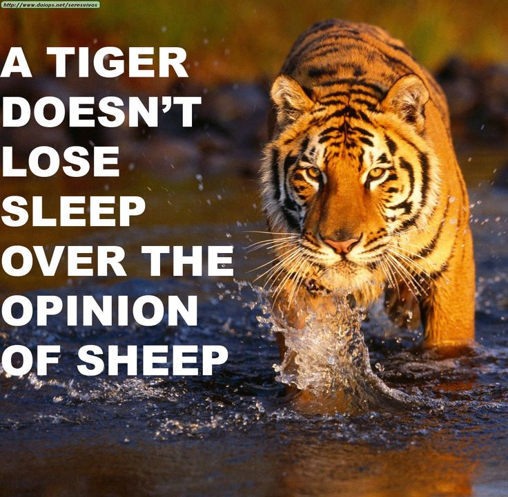 A Tiger Doesn't Lose Sleep (Edited Post from Howtonotgiveafuck) - Imgur