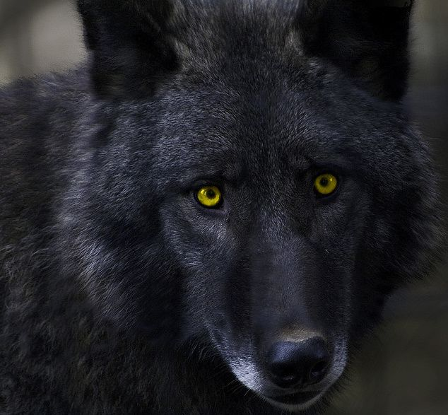 31 best PIC'S OF WOLVES images on Pinterest   Gray wolf ...