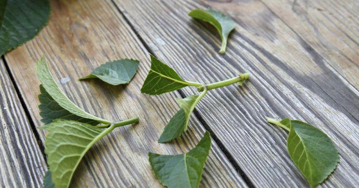 Hortensien sind ideale Gartenpflanzen: Sie bleiben kompakt, tragen große Blüten und blühen mehrere Monate lang. So können Sie die beliebten Blütensträucher durch Stecklinge selbst vermehren.
