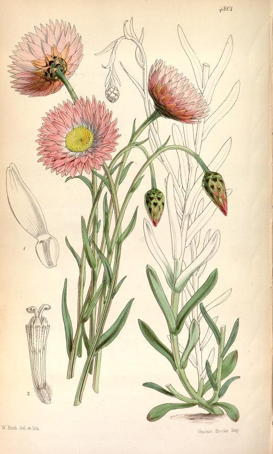 (1854) - Curtis's botanical magazine. - Biodiversity Heritage Library