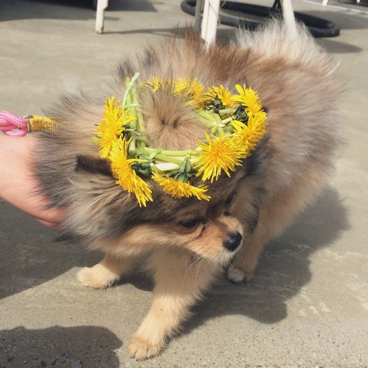 flower power fie da pomeranian