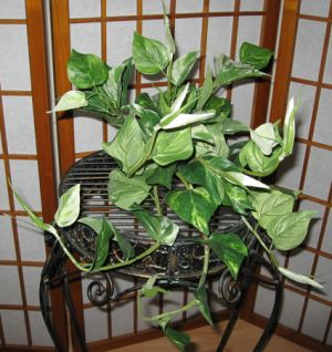 """Did you say it is artificial!  This very realistic, very detailed Marble Queen looks like you just picked it from the greenhouse.  The variety of sizes of leaves; the assorted coloration as well as the rubberized wrapped up new leaf covered partially with a soft fabric makes you really believe that it could be real.  Dimensions of this ivy are width =26"""".  The height=10""""  Comes potted in an artificial terra cotta pot topped with real moss.  A true bargain.  These will not last long."""