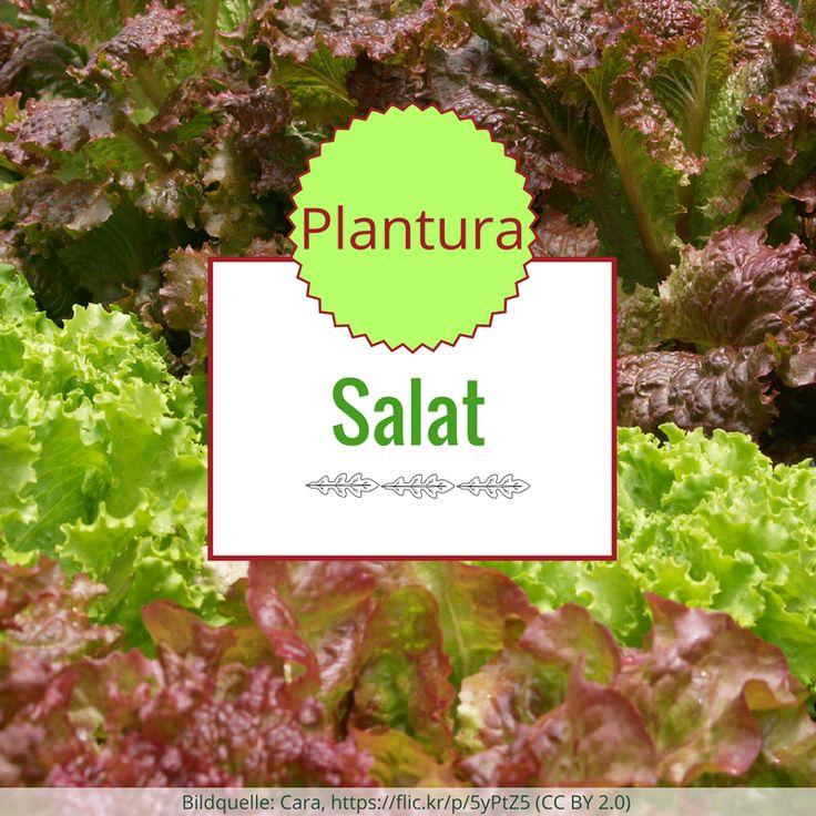 Salat ist vielfältig verwendbar, wahnsinnig lecker und vor allem: leicht anzubauen. Alles, was Ihr darüber wissen müsst, erfahrt Ihr bei Plantura! Außerdem findet Ihr hier eine Übersicht über die Sortenvielfalt! Von Rucola über Chicorée bis zum Vulkanspargel - hier könnt auch Ihr einiges Neues erfahren!