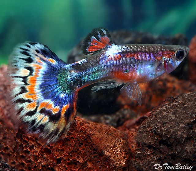 343 best guppies images on pinterest for Freshwater tropical fish for sale