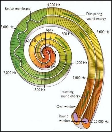 The Voice of the Most High is in the Fibonacci spiral so He made our ears in that same ratio. We were designed to hear His Voice and walk i...