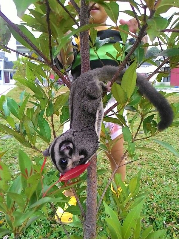 Sugar glider 5 months old. Her name Daisy. Marsupial. Asian Exotic Animal.
