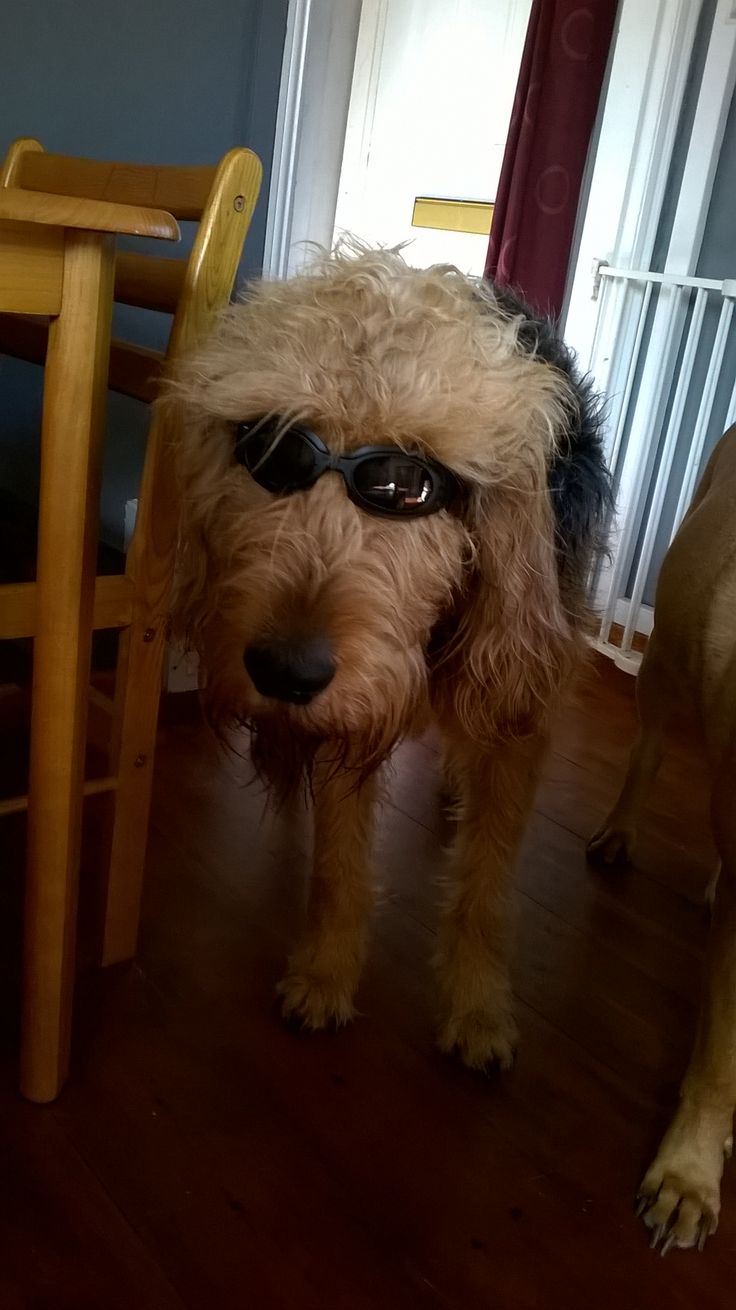 Webpaws Family Run Providing Safe Parent Approved Online Games For - Olly the otterhound in his shades
