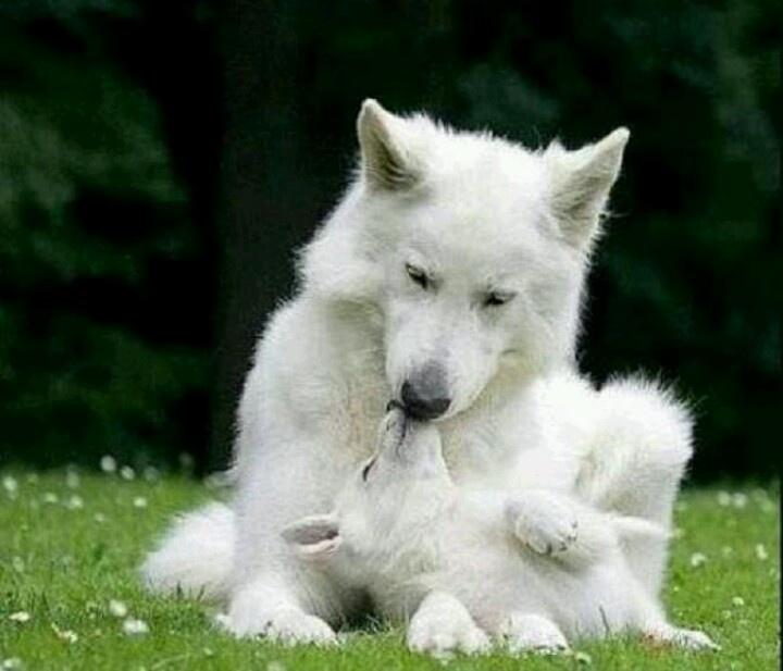 17 beste idee n over witte siberische husky op pinterest siberische husky puppies kindje - Pure kindje ...