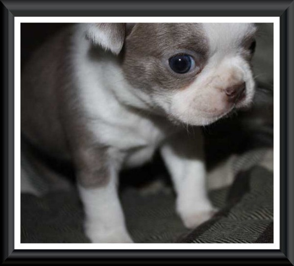 CKC Registered Purebred Colored Boston Terriers Blues, Champagnes, Reds Splases. Awweeee I wannntt it More Register Purebr, Red Splase, Purebr Color, Color Boston, Furry Creatures, Ckc Register, Champagne Boston Terriers, Terriers Blue, Men Bff Check more at http://blog.blackboxs.ru/category/dogs/