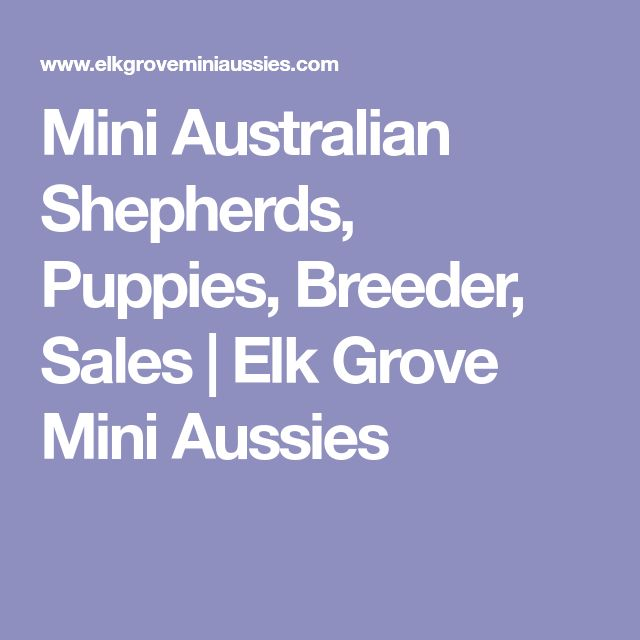 Mini Australian Shepherds, Puppies, Breeder, Sales | Elk Grove Mini Aussies