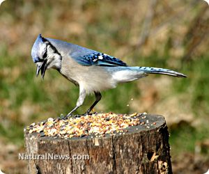 Plants actually want seed predators like squirrels and jays to hoard their seeds in giant food stores