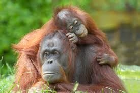Orang Utan's time. Mom with her little baby. Borneo Island. Nature Life.