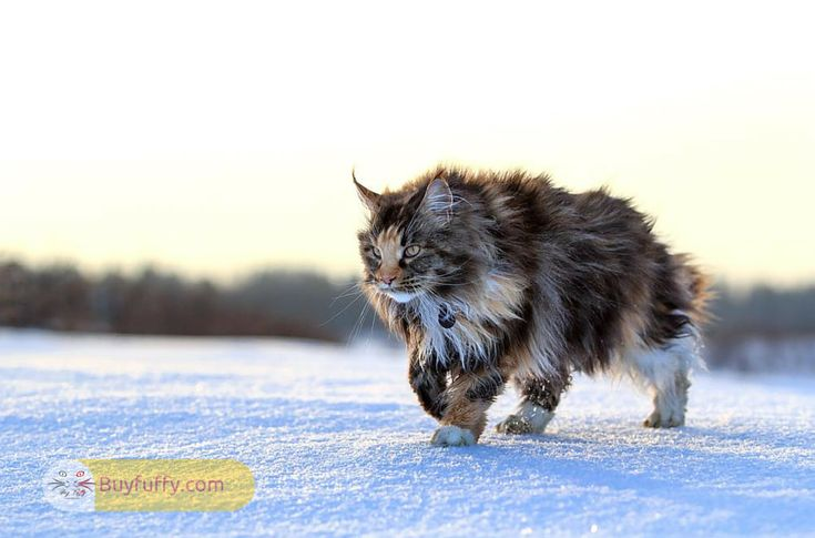 Nowadays it is hard to wonder that which breeds of domestic cats are largest cats or feline giants. However, the list of largest domestic cat breed is
