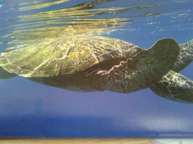 A sea turtle swimming in Honolua Bay, Maui, Hawaii, USA