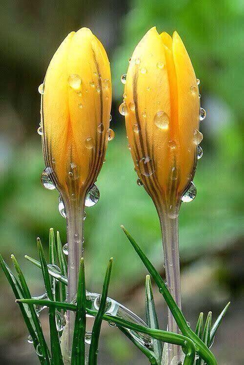 *~ Crocuses drinking in a spring rain~*