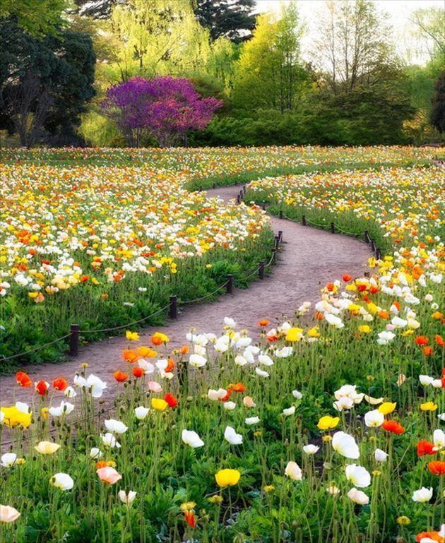 美しい日本 33東京、昭和記念公園のポピー畑