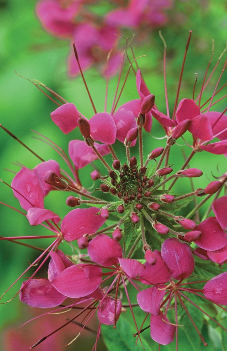 Cleome spinosa 'Violet Queen' is a sumptuous purple, which looks good with almost anything, particularly good mixed up with verbenas, dahlias and sunflowers.