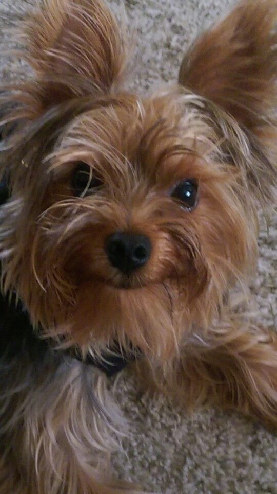Smile, its the weekend! | Yorkshire terrier, Yorkie, Terrier