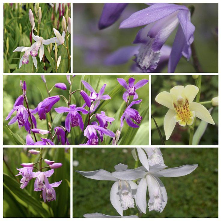 Fleurs roses, blanches, pourpres, panachées, jaunes ou bleus. Découvrez les nouvelles variétés d'orchidées jacinthes proposé en exclusivité par Phytesia.