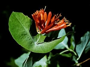 Plant Detail: Lonicera ciliosa (orange honeysuckle, western trumpet honeysuckle) semi evergreen, native, wall planting.  June bloom. Edible.  Probably need summer irrigation.
