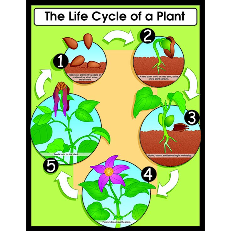 CHARTLET THE LIFE CYCLE OF A PLANT