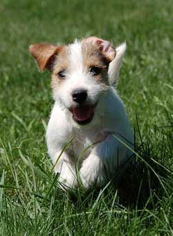 This Parson Russell Terrier puppy is happy to see you.