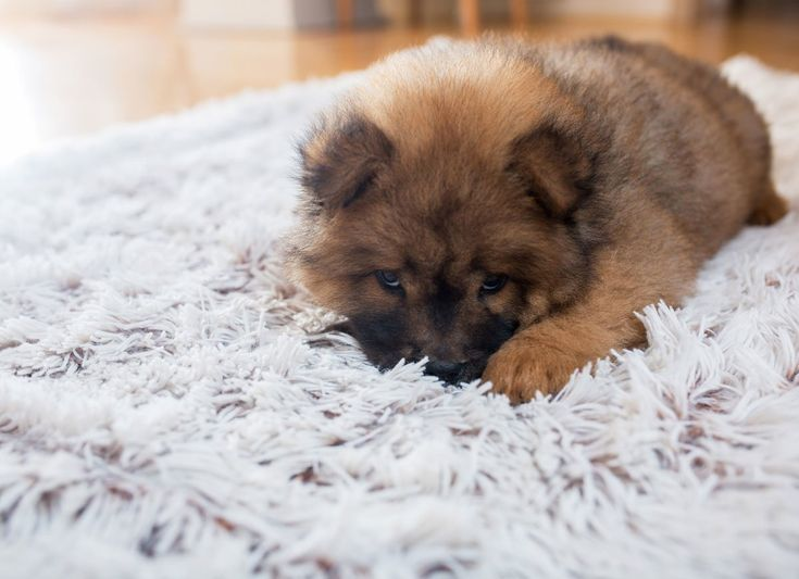 How to Remove Pet Hair from Rugs