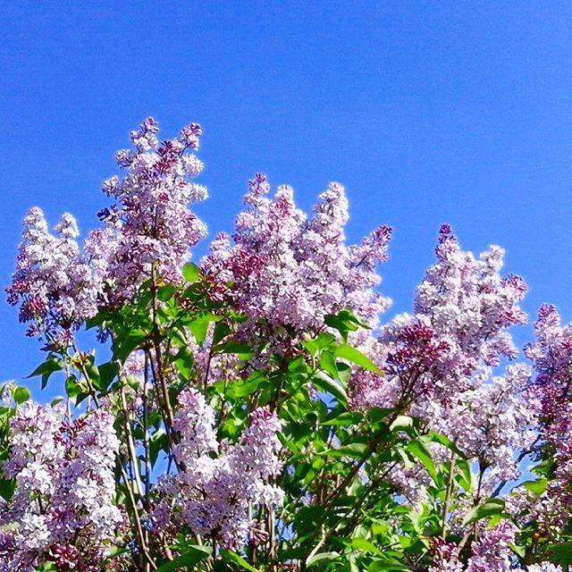 Endlich wieder Sonne. Und der Flieder in voller Blüte. Happy Weekend. #flieder #spring #weekend #mariesgarten #marievonmariesblog