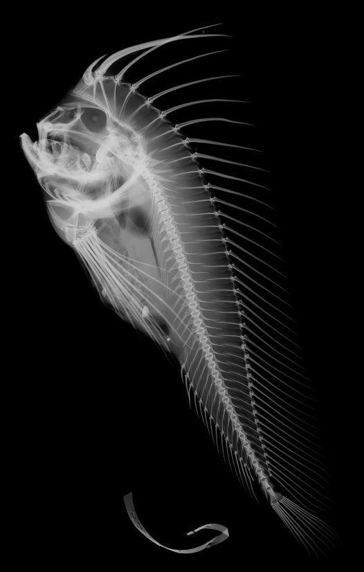 x-ray. fish