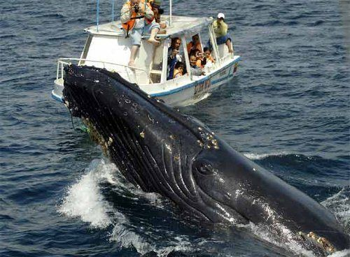 Humpback whale watching is enjoyed by a relatively small amount of national and foreign tourists that take advantage of their trips to Colom...