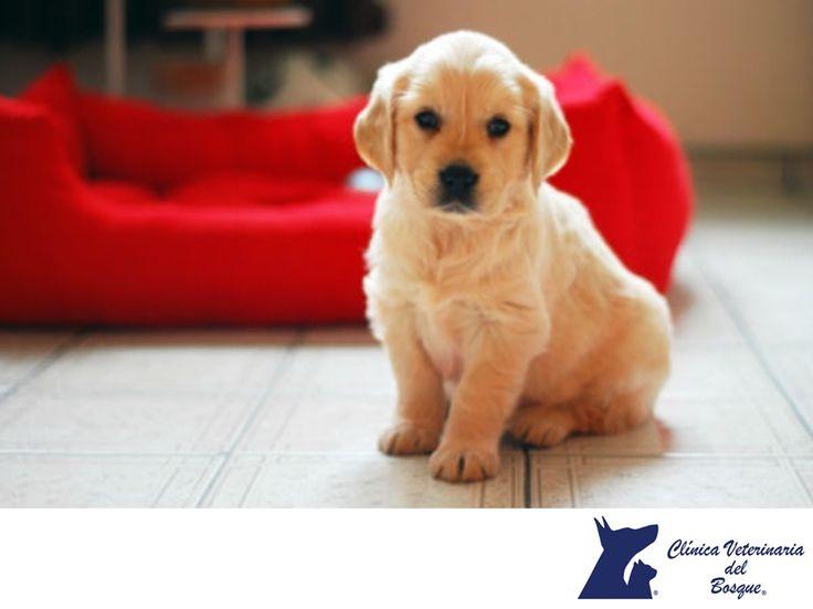 CLÍNICA VETERINARIA DEL BOSQUE. Cuando adoptas un cachorro, éste estará inquieto y querrá explorar su nuevo entorno. No lo dejes solo durante mucho tiempo, necesita tu atención y afecto para su educación desde el primer día. En Clínica Veterinaria del Bosque, contamos con médicos expertos para orientarte en todo lo que respecta a tu mascota. #cuidadodemascotas