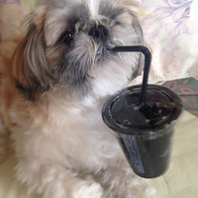 桜翔(はると)が、私が飲み切ったセブンのカフェオーレの氷とストローが気になるようでした。 口もとにストローを、まるで飲んでいるかのようです(^-^) 食いしん坊です。 今週末は、仕事が祝日プログラムでレッスンが早く終わるので仙台の友達とアウトレット行ったりして、数日家空けるけど、家族の言うことちゃんときいてお利口さんにね。 本当にこの子は、私と同じように手がかかる子です^_^; 家を空ける時もとても心配です。 #シーズー #シーズー男の子 #やんちゃ #愛犬 #癒し #ワンコ #シーズー大好き