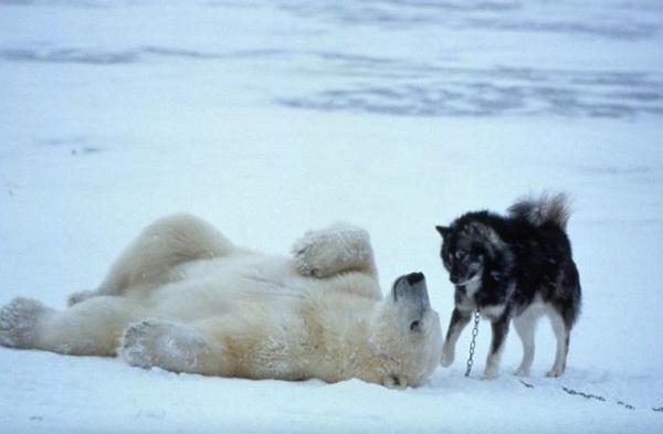 Pertemanan Beruang Kutub dan Anjing http://evobig.blogspot.com/2012/08/bila-beruang-kutub-bertemu-anjing.html