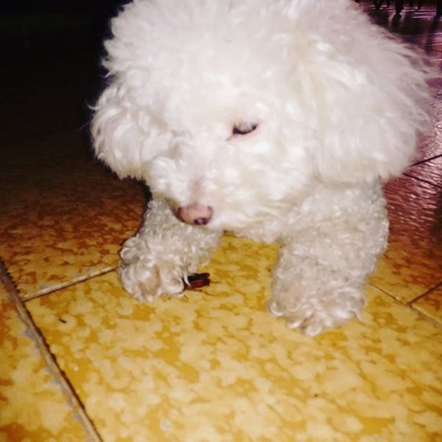 ・ #Almendra ! La #cazadora de #cucarachas ! Mi #heroina :'D  solo llame agudamente al 0800MIRALACUCARACHA 😌🐩🐾 #perro #mascota #algodon #nubesita #pet #dog #poodle #cockroach #slayer #hunter #heroine #ペット #犬 #愛犬 #ゴキブリ #蜚蠊 #スレイヤー #ハンター #英雄