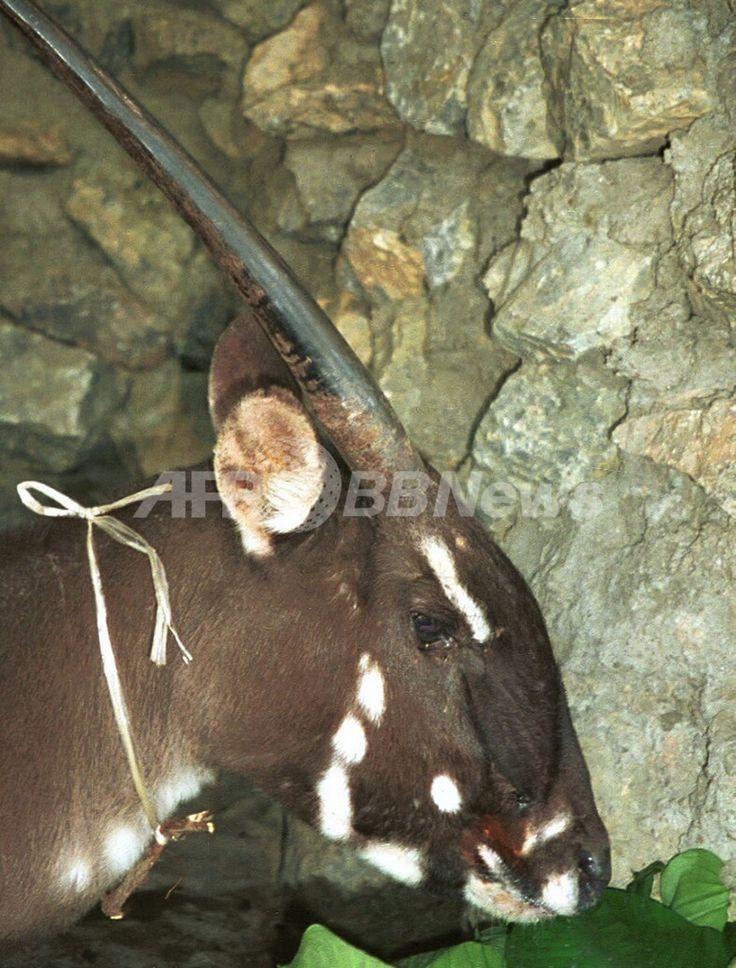 ラオス・ボーリカムサイ(Bolikhamxay)県Lak Xaoで撮影された雌のサオラ(1996年撮影、2013年11月13日提供、資料写真FILE)。(c)AFP/WWF/William Robichaud ▼14Nov2013AFP|絶滅危惧種サオラ、ベトナムで15年ぶりに撮影 WWF http://www.afpbb.com/articles/-/3003248 #Saola #Sao_la #中南大羚 #ซาวลา #Pseudoryx_nghetinhensis