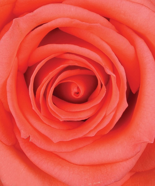 Best 25 salmon color wedding ideas on pinterest salmon - Rosas color coral ...