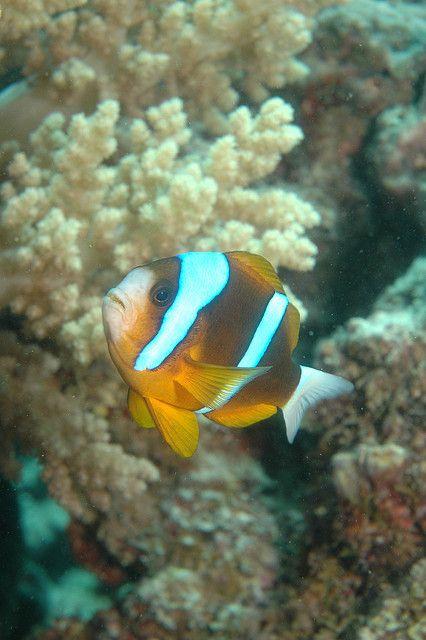 Clown fish? Great Barrier Reef, Cairns, Australia #stageaustralia #australia #queensland #cairns #greatbarrierreef #clownfish #traineeship #internship #snorkling #nemo #scubadiving #travel #adventure
