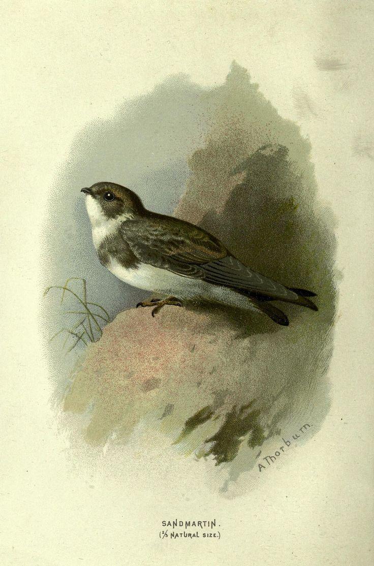 https://flic.kr/p/dzamjr | n133_w1150 | Familiar wild birds /. London ; New York :Cassell,1883.. biodiversitylibrary.org/page/23905886