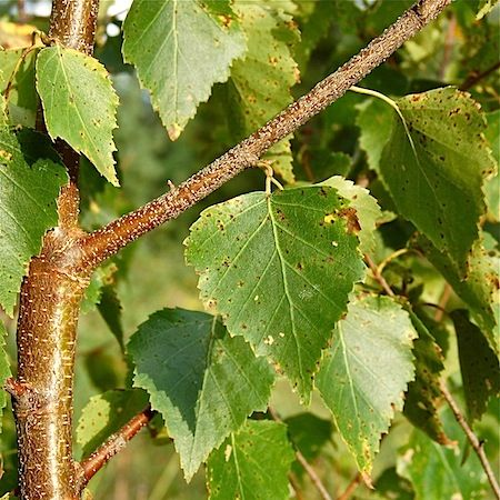 rauduskoivu - Betula pendula