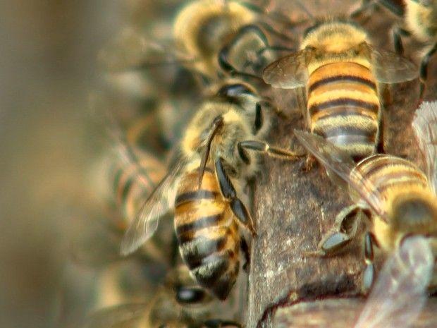 Soro para picada de abelhas produzido em Botucatu está disponível em três hospitais -     Roberto Giraldi Peres e Camila Aguilar Peres moram em um sítio emAvaré(SP) e passaram por um grande susto no ano passado. Quando o casal caminhava no pasto, foi surpreendido por um enxame. Camila tomou mais de 400 picadas, precisou ser levada ao hospital e ainda tem cicatrizes - http://acontecebotucatu.com.br/saude/soro-para-picada-de-abelhas-produzido-em-botucatu-esta