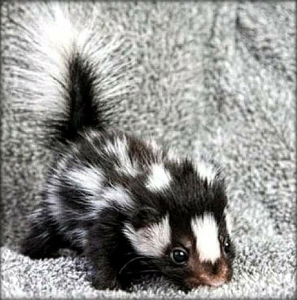 Eastern Spotted Skunk Kit Florida is home to both the Eastern Spotted Skunk and the Striped Skunk (except the Keys) and they're both the size of a house cat. The Eastern Spotted Skunk is highly carnivorous and is the only skunk that can climb trees. (Photo floridiannature.com)