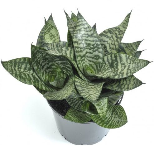 Tanaman Bird's Nest Sansevieria- Love the look of this one.  Only gets about 6 in high and 6 in wide