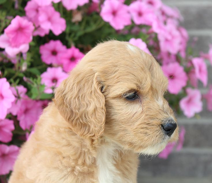 Goldendoodle puppy near fort wayne in for sale