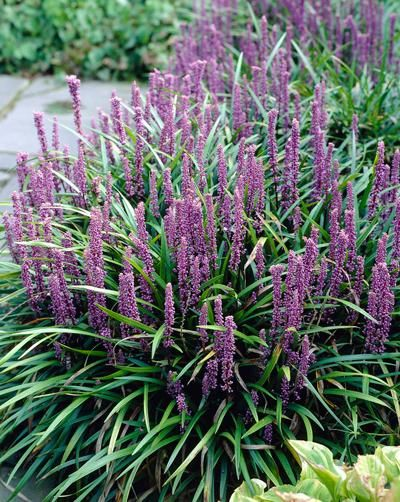 "Easy-Care Perennial with Deep Purple Flower Spikes - Grass, Groundcover or Flowering Perennial? Liriope is all of the above and more. The rapidly growing perennial, a relative of Mondo grass and member of the lily family, provides year-round interest in the garden and tiny lily-like flowers. And its common name of ""lily turf"" perfectly describes..."